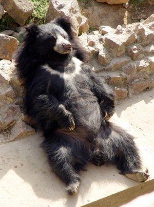 Медведь-губач в Николаевском зоопарке (Николаев, Украина), фото Николаевского зоопарка